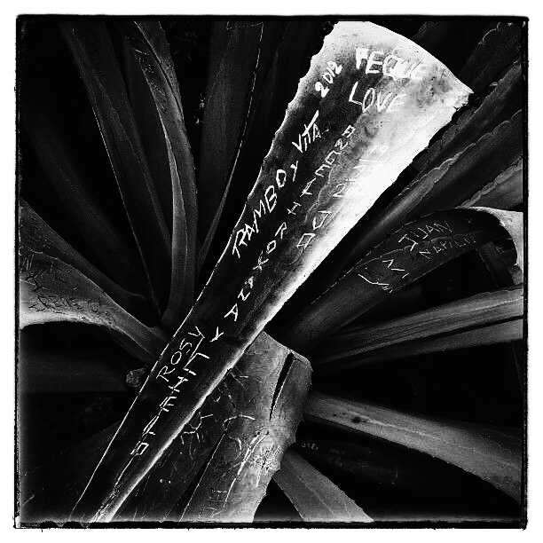 Graffitied cactus in Lima, Peru (black and white)